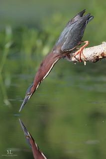 Pêche à la mouche. Héron vert