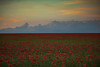 Field of red poppies (ellyrussellphotography) Tags: red poppies poppy redpoppies depthoffield poppyheads poppyseeds poppyflower poppyfield redpoppyfield poppiesred redflower redflowers seedhead seedheads
