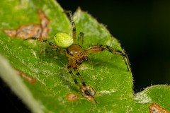 Araniella opisthographa (Photos by Azph) Tags: spider macro spiders orbweavers