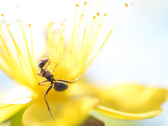 Flower nectar is delicious (trasroid) Tags: ant アリ 蟻 flower 花 insect 虫 昆虫