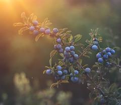 Sunset Bokeh (Inka56) Tags: 7dwf closeup hbw bokeh berries sunset goldenhour