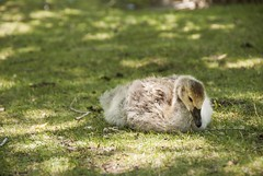 DSC_0131 edited (juliaferguson3) Tags: goose gosling babygoose birds aviary warmtones grass green