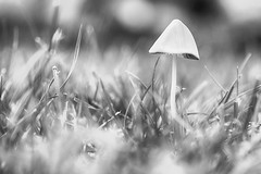 Fungi Friday (flashfix) Tags: july122017 2017inphotos ottawa ontario canada nikond7100 nikon 40mm grass monochrome blackandwhite nature mothernature bokeh mushroom highkey fungi fungus macro 2minutemacro