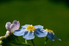 Blue , (jwzw@ymail.com) Tags: park color nature flower summer beautiful bright closeup leaf season garden petal blur flora outdoors wild growth delicate blooming