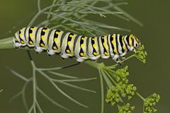 Black Swallowtail Caterpillar (asparks306) Tags: