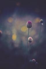 silence (christian mu) Tags: flowers bokeh nature summer germany münster muenster botanicalgarden botanischergarten christianmu sonya7ii sony 9028g 90mm 9028 macro schlossgarten