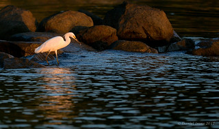 Snowy Egret (Explored#20)