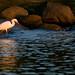 Snowy Egret (Danielirons02) Tags: