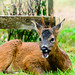 Sitting and singing in the rain ... (Explore July 23rd 2017) (Sue_Todd) Tags: animals deer photographer roebuck roedeer suetodd suetoddphotography typesofpicture wildlife commercialphotographer foodphotographer productphotographer
