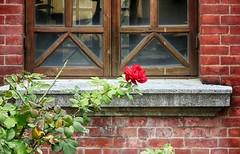 教會窗台 Church windowsill (葉 正道 Ben(busy)) Tags: taichung liuˍyuanˍchurch church 宗教百景 台中 柳原教會 柳原 教會 windowsill 窗台 紅色 red flowers 花 taiwan 基督長老 presbyterian