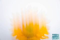 Week 28: Abstract (bmurphy502) Tags: flower sunflower icm intentionalcameramovement lightpainting abstract yellow colorful fleur light movement slowshutter slowshutterspeed july blur gold nature white flowers