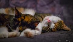 Sleeping beauties (m3dborg) Tags: cat cats sleeping animal animals indoor domestic fur
