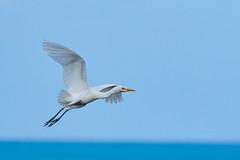 Cattle Egret (ronmcmanus1) Tags: antigua bird nature outdoors wildlife jollyharbour stmarysparish antiguabarbuda