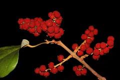 Mallotus philippensis (andreas lambrianides) Tags: mallotusphilippensis redkamala orangekamala euphorbiaceae mallotus arfp nswrfp qrfp subtropicalarf littoralarf dryarf monsoonarf lowlandarf uplandarf arffs orangearffs brownarffs ntrfp cyrfp kamala kamalatree australianflora australiannativeplant australianrainforests australianrainforestplants australianrainforesttrees australianrainforestfruits australianrainforestseeds