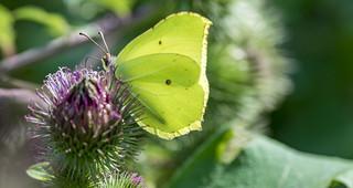 Le papillon citron – Gonepteryx rhamni.