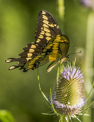 Giant Swallowtail (Bernie Kasper (2,000,000 views)) Tags: art berniekasper butterfly cliftyfallsstatepark cliftyfalls d600 family flower floral flowers teasel green hiking indiana indianawildflowers jeffersoncounty light madisonindiana macro nature nikon naturephotography new outdoors outdoor old outside photography plant wildflower wildflowers wings wing insect insects raw travel trail summer sigma statepark