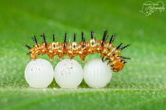 Dryas iulia caterpillar walking on eggs (Amanda Blom Photography) Tags: caterpillar rups natuur groen nature closeup eggs butterfly passiebloemvlinder macro macrophotography macroworld macrophoto canon canonphoto