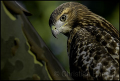 Plain Jane (Christian Hunold) Tags: redtailedhawk immatureredtail buteojamaicensis hawk raptor urbanhawk birdofprey rotschwanzbussard eakinsoval philadelphia christianhunold