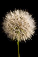 Dandelion (brian_barney9021) Tags: dandelion flowers flower flash nikon d7200 seeds nature art
