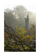 The Shard (Geoff Kell (Old Forest Man)) Tags: trees woodland forest autumn morning backlighting deadwood