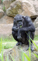 Zoo(m) Gelsenkirchen 18 (akumaohz) Tags: deutschland germany zoo tierpark nikon d3200 drausen outdoor gelsenkirchen zoom tier tiere animal animals säugetier tiefenschärfe schärfentiefe affe monkey schwarz black gemütlich relax entspannt
