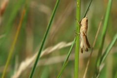 When you've gotta go... (lesser marsh grasshopper) (Ron and Co.) Tags: lessermarshgrasshopper grasshopper orthoptera macro insect defecation excrement northwarren