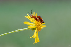 Red Soldier Beetles (CJH Natural) Tags: beetle redsoldier redsoldierbeetle flower bokeh macro makro action green garden garten yellow summer wuild wildlife nature natural insect