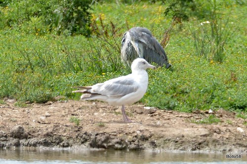 Gull - Home Farm Marsh, Fremington 04-07-2017 13-24-32
