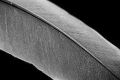 MM - Texture - Feather in Black and White - Zoom in please! (stefanfricke) Tags: macro macromondays texture memberschoicetexture sony ilce6000 a6000 sel30m35 feather blackwhite nik silverefexpro fav50