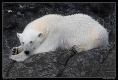 Arctic Sleeping Beauty (Sharon's Nature) Tags: polarbear svalbard arctic sleepingbear ursusmaritimus bear polarbearsinternational