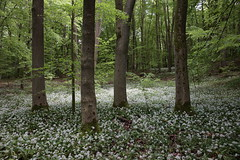 Nationalpark Hainich (Harald Kobmann) Tags: nationalpark hainich buchenwald bärlauch