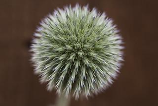 Touch Me - Dandelion Plant