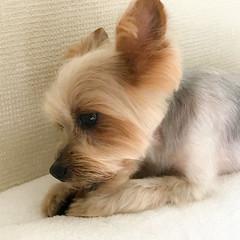 "Pet dog yorkie ""santa"" (shinichiro*@OSAKA) Tags: 20170716img8140 2017 crazyshin appleiphone7plus iphone july summer kawasaki kanagawa japan jp dogs yorkie santa petdog indoor 35824039322 candidate"