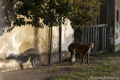 Desconfiado (Val_pe) Tags: perro tranquera sombra árbol gato dog tree cat shadow