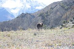 Horse (pavel B.) Tags: horse nepal himalaya sunnyafternoon annapurnacircuit