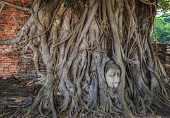 Thailand - Buddha's Head In Tree Roots (JimP (in Sarnia)) Tags: tree banyan bidhi head statue buddha temple mahathat wat park historical ayutthaya bangkok thailand