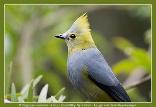 Long-tailed Silky-flycatcher #1
