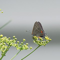 Gray Hairstreak (Strymon melinus) (JRWhitaker1) Tags: montgomerycounty maryland flowe fennel garden nature insect grayhairstreak butterfly