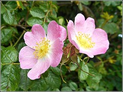 Wild Roses... (** Janets Photos **) Tags: uk plants flora flowers wildroses closeups