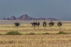 Head For The Hills (gecko47) Tags: landscape namibia solitaire khomas plain grassland outcrop ostriches flock birds flightless commonostrich struthiocamelus arid