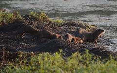 Otter Family (Plummerhill) Tags: otters otterfamily morning muscatatucknwr