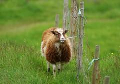 Sheep eating fence (Jaedde & Sis) Tags: føroyar sheep fence gjógv eating chewing friendlychallenges 15challengeswinner perpetualwinner gamewinner sweep challengefactorywinner thechallenegfactory gamex2 storybookwinner