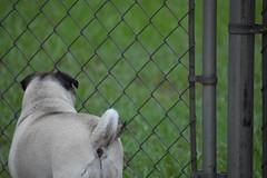 Pug Butt (evanreed) Tags: pug dog dogs backyard fence grass green puppy fawn nikon d3400
