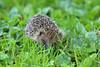 Hedgehog (Allan Jones Photographer) Tags: hedgehog erinaceinae mammal prickly allanjonesphotographer canon5d4 canonef135mmf2lusm nature wild grass bokeh prime
