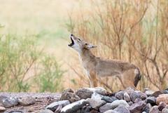 Coyote (Ed Sivon) Tags: american america canon nature lasvegas wildlife wild western wind southwest sun desert clarkcounty clark county vegas henderson nevada nevadadesert preserve