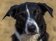 Aren't I pretty? (Monika Humpage) Tags: bordercollie portait dog handsome sandy snout