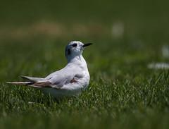 Mouette pygmée/Little gull 18072017-_PM16847 (michel paquin2011) Tags: mouette pygmée petit rare