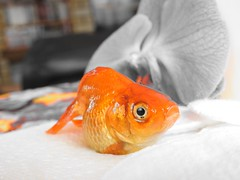 EyeEm Selects Fish Orange Color Indoors  No People Food And Drink Food Close-up Seafood Animal Themes Cold Temperature Day Freshness (lilymay.parker) Tags: eyeemselects fish orangecolor indoors nopeople foodanddrink food closeup seafood animalthemes coldtemperature day freshness