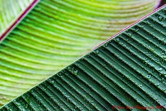 Leaves (Beau Rush) Tags: nature patterns tension lines droplets rain water triangles green plants plant leaves leaf