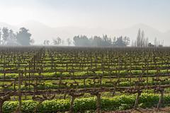 Vineyards and the haze (Rodolfo Ribas) Tags: d021038 vineyards